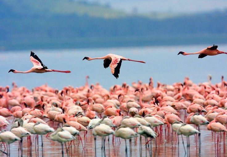 Sardinija. Flamingai
